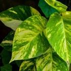 Goudrank (Epipremnum aureum): de gevlekte klimplant