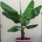 De bananenplant (Musa Cavendishii) als kamerplant