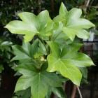 Fatshedera lizei, kruising tussen vingerplant en klimop