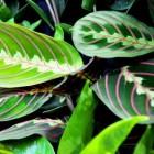 Maranta: bont gekleurde Zuid-Amerikaanse kamerplanten