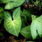 Syngonium, kamerplant met pijlvormige bladeren