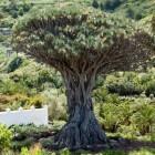 Dracaena draco: een luchtzuiverende kamerplant