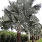 Bismarckia nobilis: Herkomst, uiterlijk en verzorging