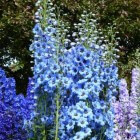 Mooie ridderspoor voor in een natuurlijke tuin