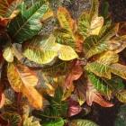 Croton, de kamerplant met gekleurde bladeren