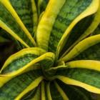 Sansevieria, de ideale kamerplant