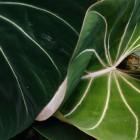 Niet klimmende Philodendron-soorten als kamerplant