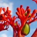 De flessenplant of Jatropha podagrica met prachtige bloemen