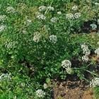 De dodemansvingers, een giftige plant