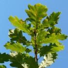 De zomereik (Quercus robur) in bos, park en tuin