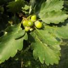 Wintereik (Quercus petraeae)