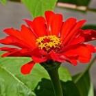 De zinnia is een eenjarige plant met veel cultivars