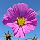 De eenjarige bloem Cosmea bloeit tot laat in de herfst