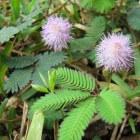 Kruidje-roer-me-niet: verzorging van deze bewegende plant