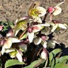 Helleborus (kerstroos en lenteroos): bloemen in de winter