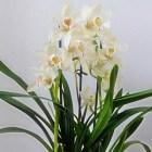 De hybride Cymbidium: een orchidee met een zee van bloemen
