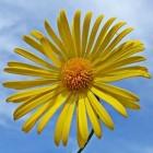 De hartbladzonnebloem is een stralende lentebloeier