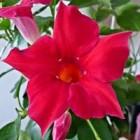 De Mandevilla is een exotische plant op het terras of balkon