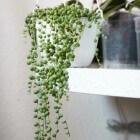 Erwtenplant: verzorgen en stekken