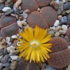 Kamerplant lithops: levende steentjes