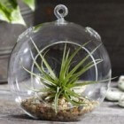 Tillandsia of airplants: een tropisch luchtplantje