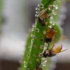 Drosophyllum lusitanicum: vleesetende Portugese zonnedauw