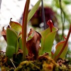 Heliamphora: vleesetende zonnebekerplant