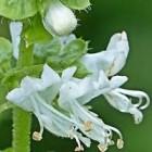 Bloem van de basilicum: klein eetbaar bloemetje