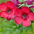 Roodbloeiend vlas: een bloeiende eenjarige sierplant