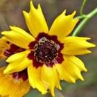 De Coreopsis tinctoria geeft kleur aan de herfsttuin