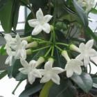Heerlijk geurende kamerplanten: Stephanotis of bruidsbloem