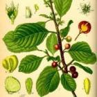 Sporkehout, Rhamnus frangula