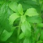 Stevia Rebaudiana - de natuurlijke zoetstof of honingkruid