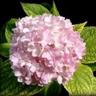 Blauwe hortensia wordt ineens roze?