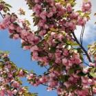 Soorten Kersenbloesems in Japan