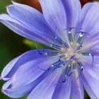 Korenbloem blauw