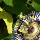 Vorstbestendige Passiflora's