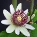 Tropische Passiflora's