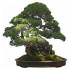 Bonsai boom kopen