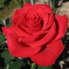 De roos als tuinplant, symbool en delicatesse