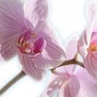 Orchideeën: onderhoud en verzorging