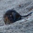 De bruine rat in het wild