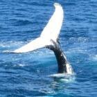 Walvis met uitsterven bedreigd