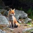 De onstuitbare opmars van de vos