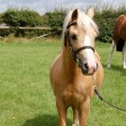 De Welsh pony in Nederland