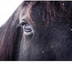 Het Friese paard, koudbloed onder de warmbloeden