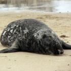 Grijze zeehond of kegelrob in de Waddenzee
