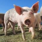 Varkens: Duroc en Indonesisch minivarken