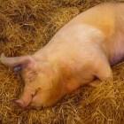 Varkensras: Large White - rasbeschrijving en gebruik