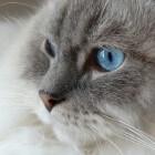 Ragdoll het liefste en leukste kattenras